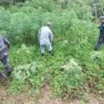 ३० बिगाहा जग्गामा लगाएको अवैध लागूऔषध गाँजा खेती नष्ट